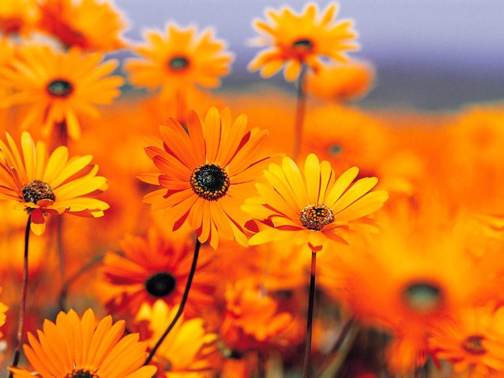 flowers-wallpapers-orange-flowers-wallpapers